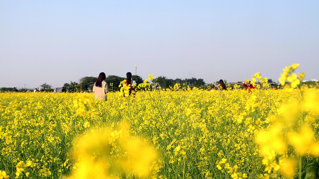 A canola field is filled with its signature yellow blooms in a Hanoi suburb. Photo: Tuoi Tre