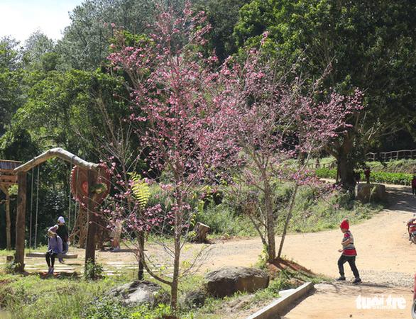 Da Lat grows Japan's sakura trees after successful trial