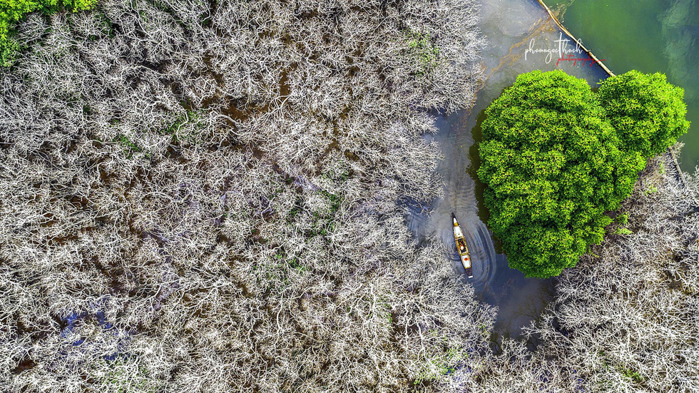 Vietnamese mangrove swamp has engaging starkness after shedding leaves