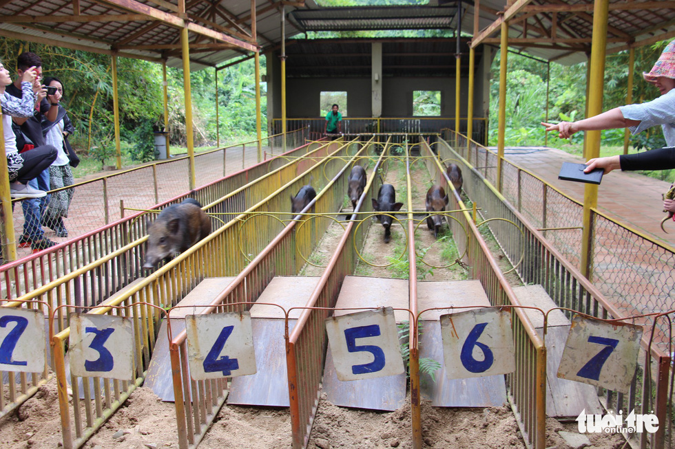 Vietnam tourist park celebrates Year of the Pig with pig racing event