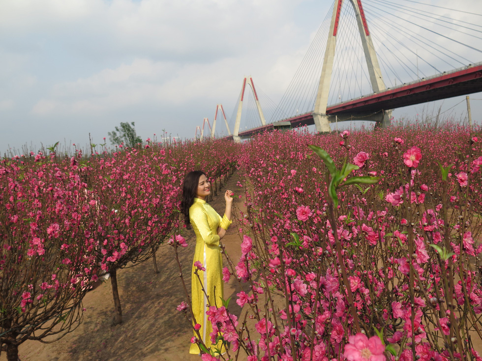 Farmers worried as peach blossoms bloom early in Hanoi's warmth