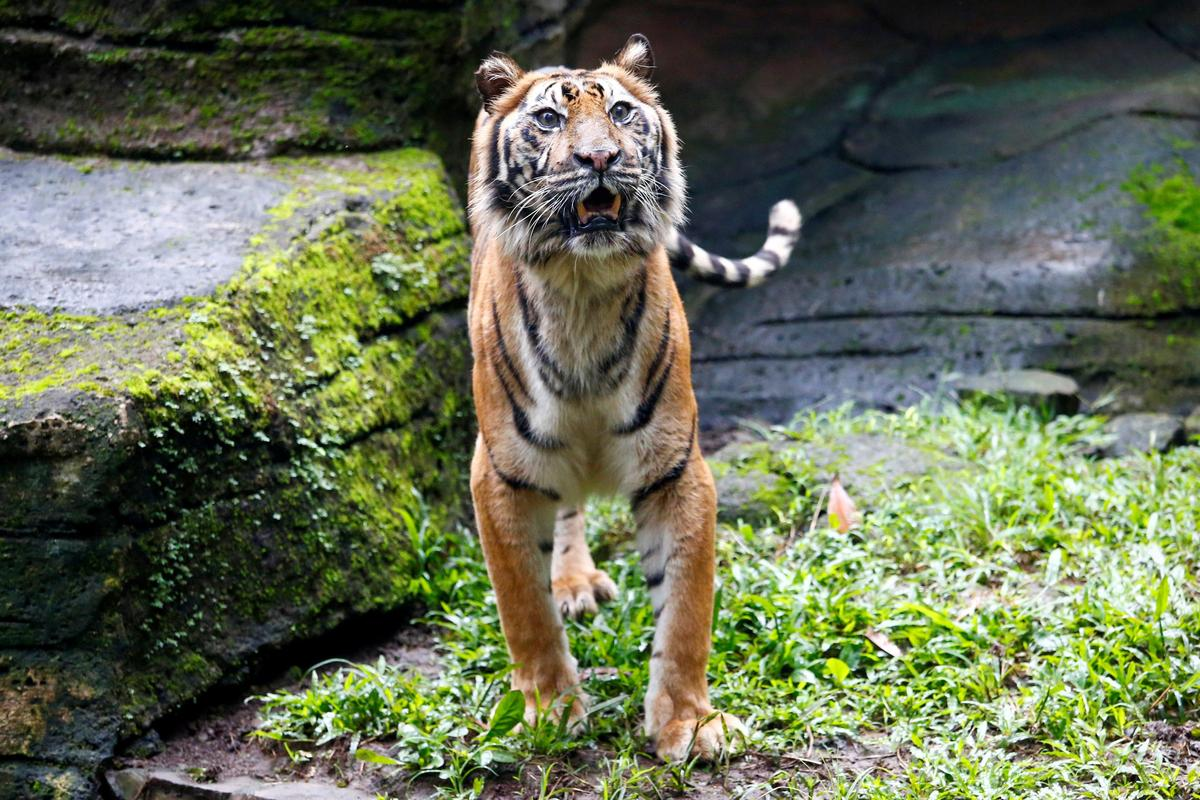 Fitri, a 19-year-old Sumatran tiger, is seen at a zoo amid the coronavirus disease (COVID-19) outbreak in Bandung, West Java Province, Indonesia, May 18, 2020. Photo: Reuters