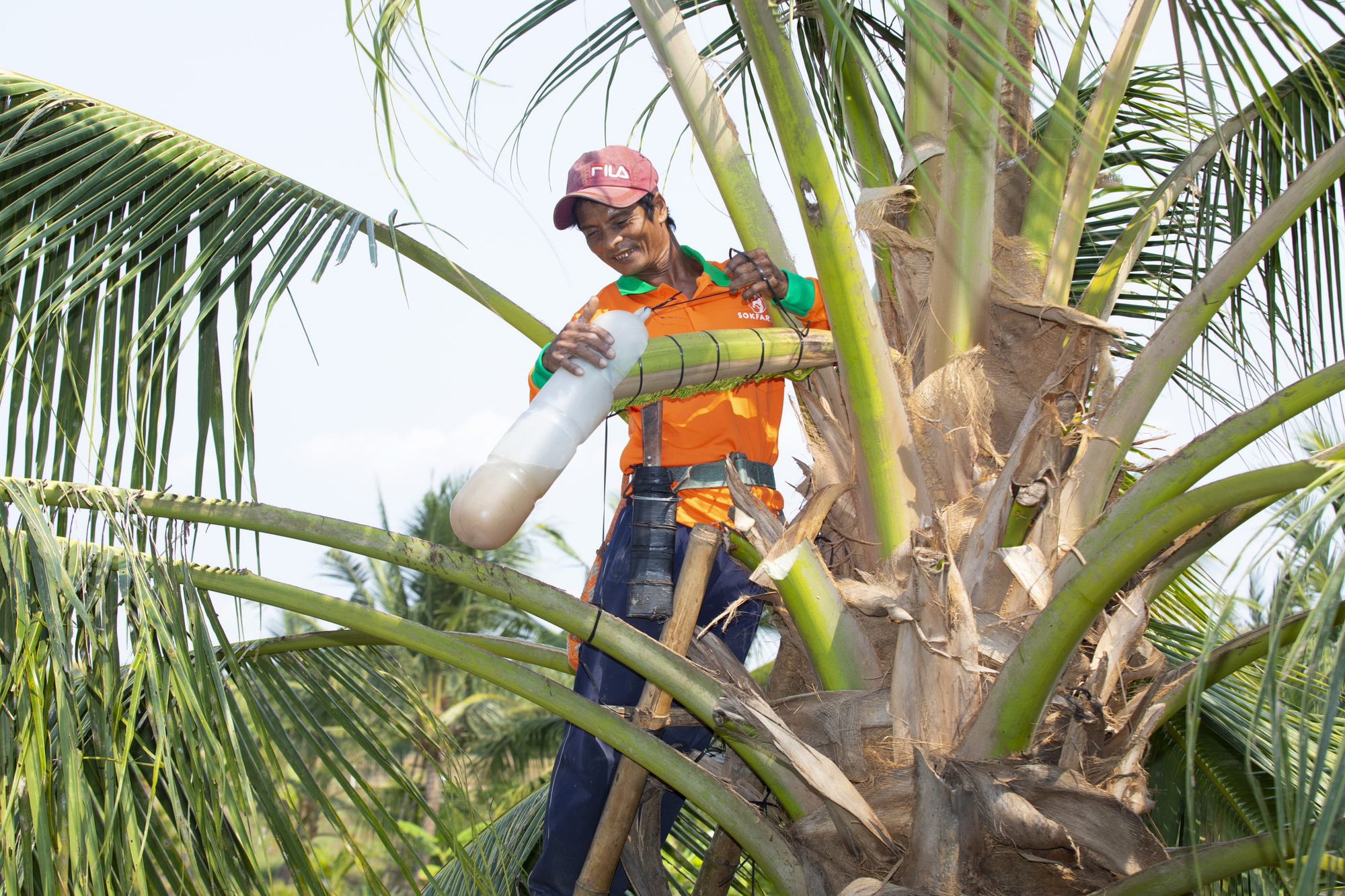 A sap collector working for Sokfarm is seen milking sap from coconut flowers. Photo: T. Nhon / Tuoi Tre