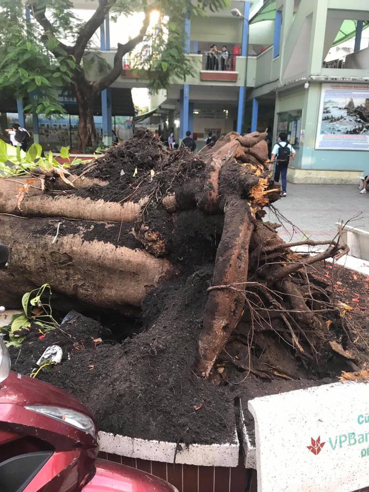 A royal Poinciana tree is uprooted on the premises of Bach Dang Middle School in District 3, Ho Chi Minh City, Vietnam, May 26, 2020 in this supplied photo.