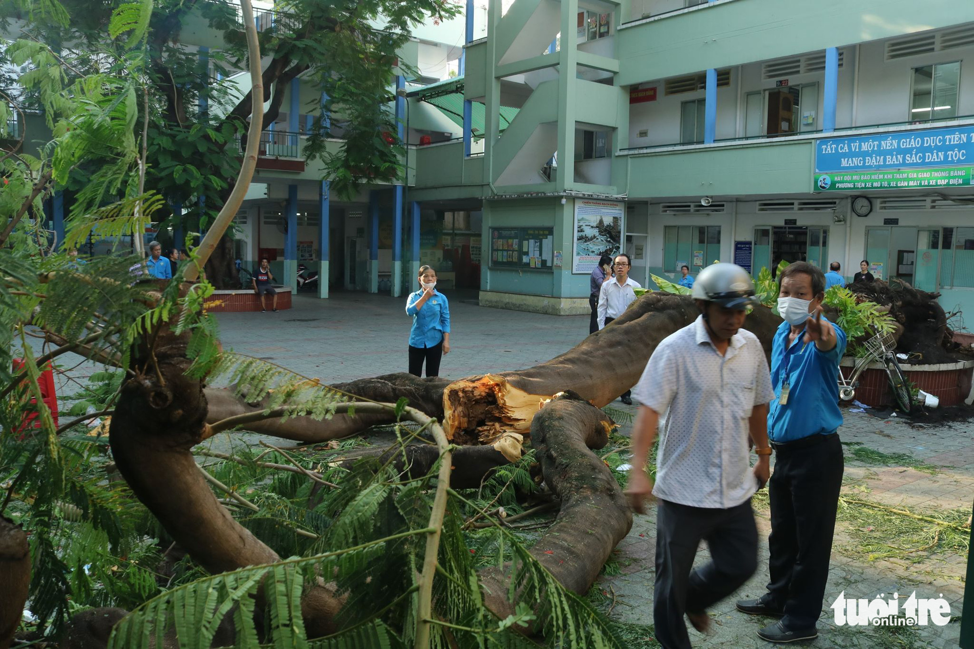 A royal Poinciana tree is uprooted on the premises of Bach Dang Middle School in District 3, Ho Chi Minh City, Vietnam, May 26, 2020. Photo: Trong Nhan / Tuoi Tre
