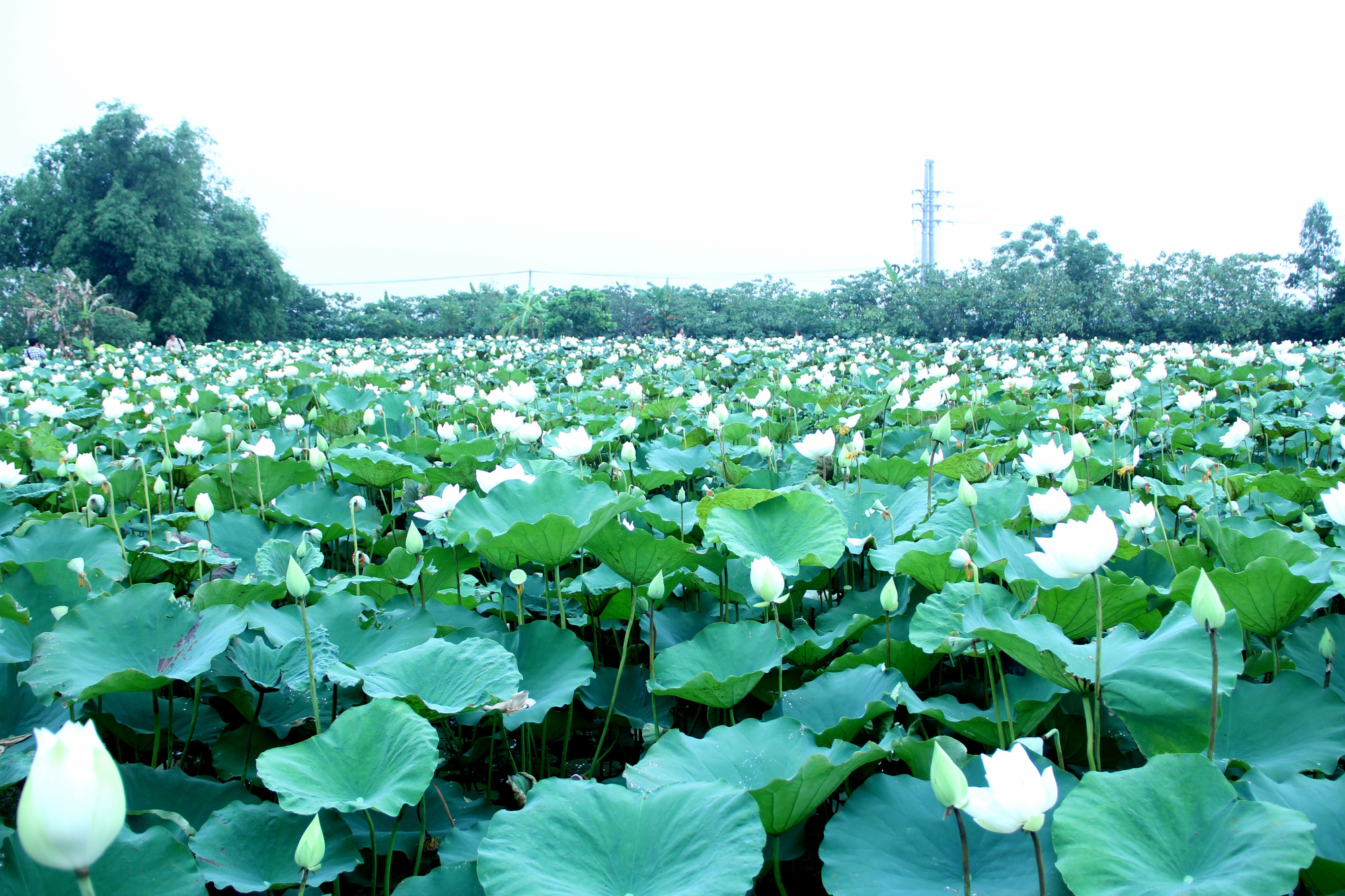 The white lotus pond of Ta Thi Bich's family at Tam Hung Commune, Thanh Oai District, Hanoi, Vietnam is seen in the photo taken in May 2020. Photo: Duong Lieu / Tuoi Tre