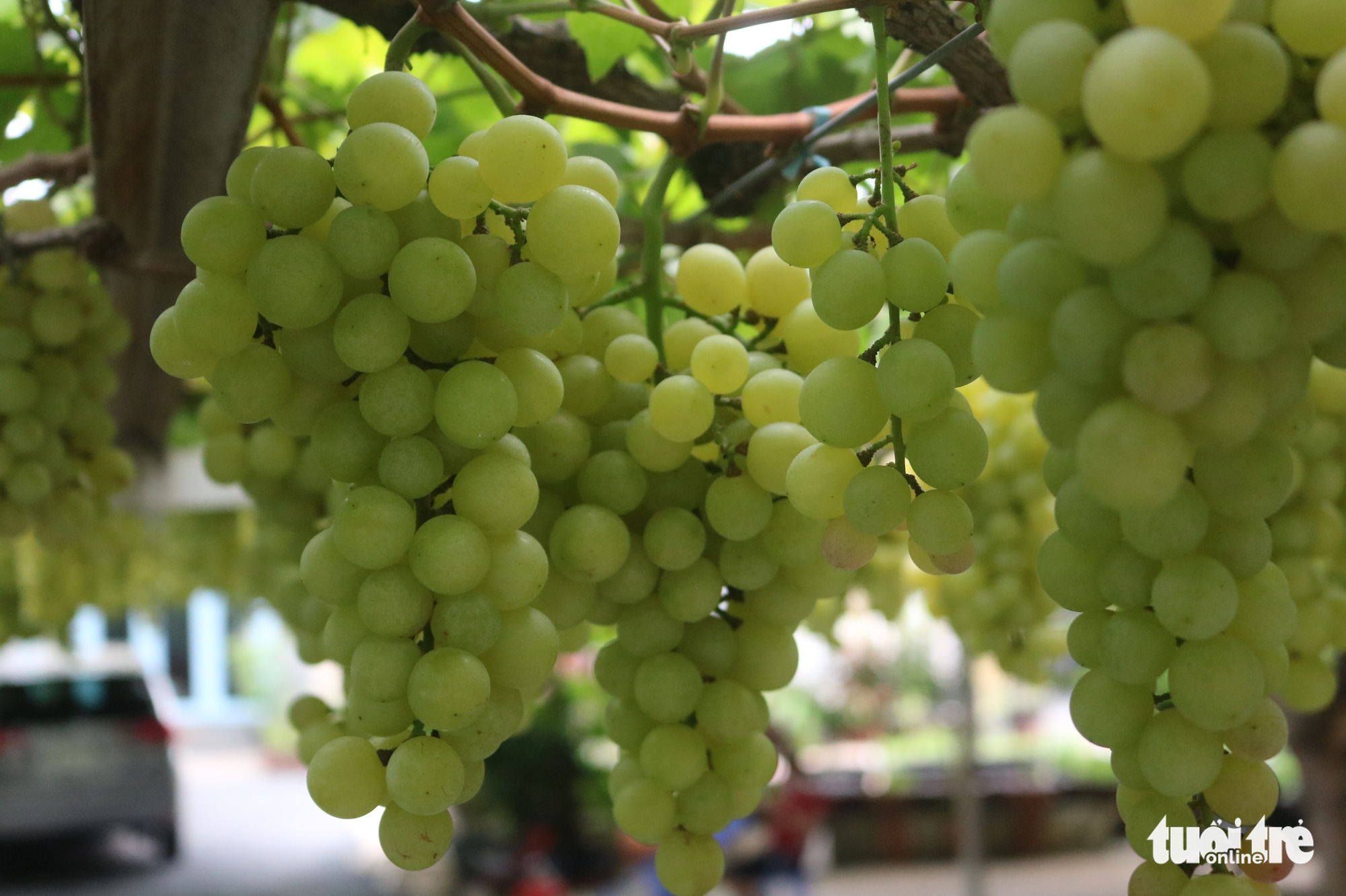 Bunches of green grapes hang from grapevines grown at Truong Van O's home garden in District 9, Ho Chi Minh City, Vietnam. Photo: Thu Hien / Tuoi Tre