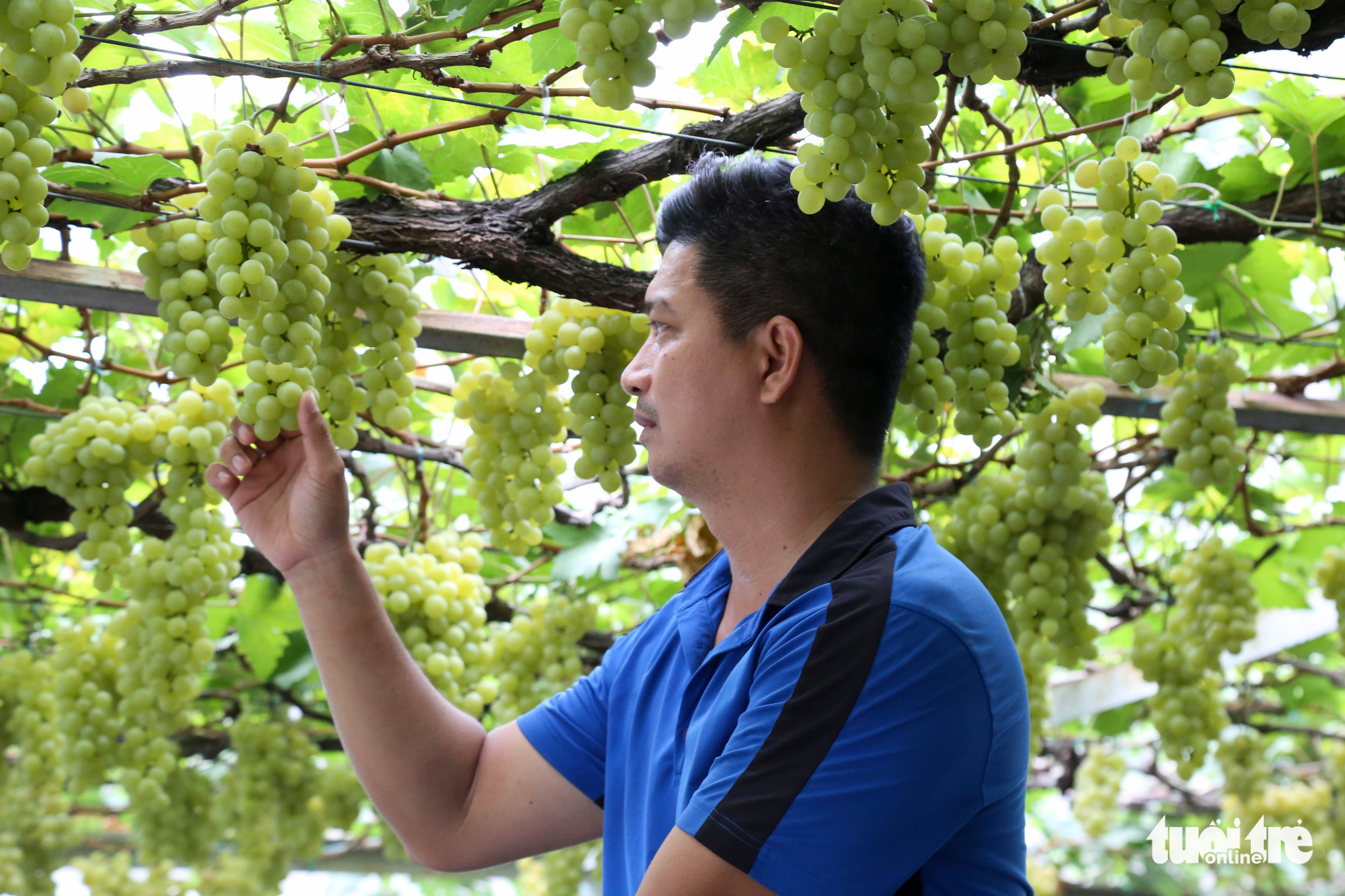 A visitor inspects a bunch of grapes at Truong Van O's home garden in District 9, Ho Chi Minh City, Vietnam. Photo: Thao Le / Tuoi Tre