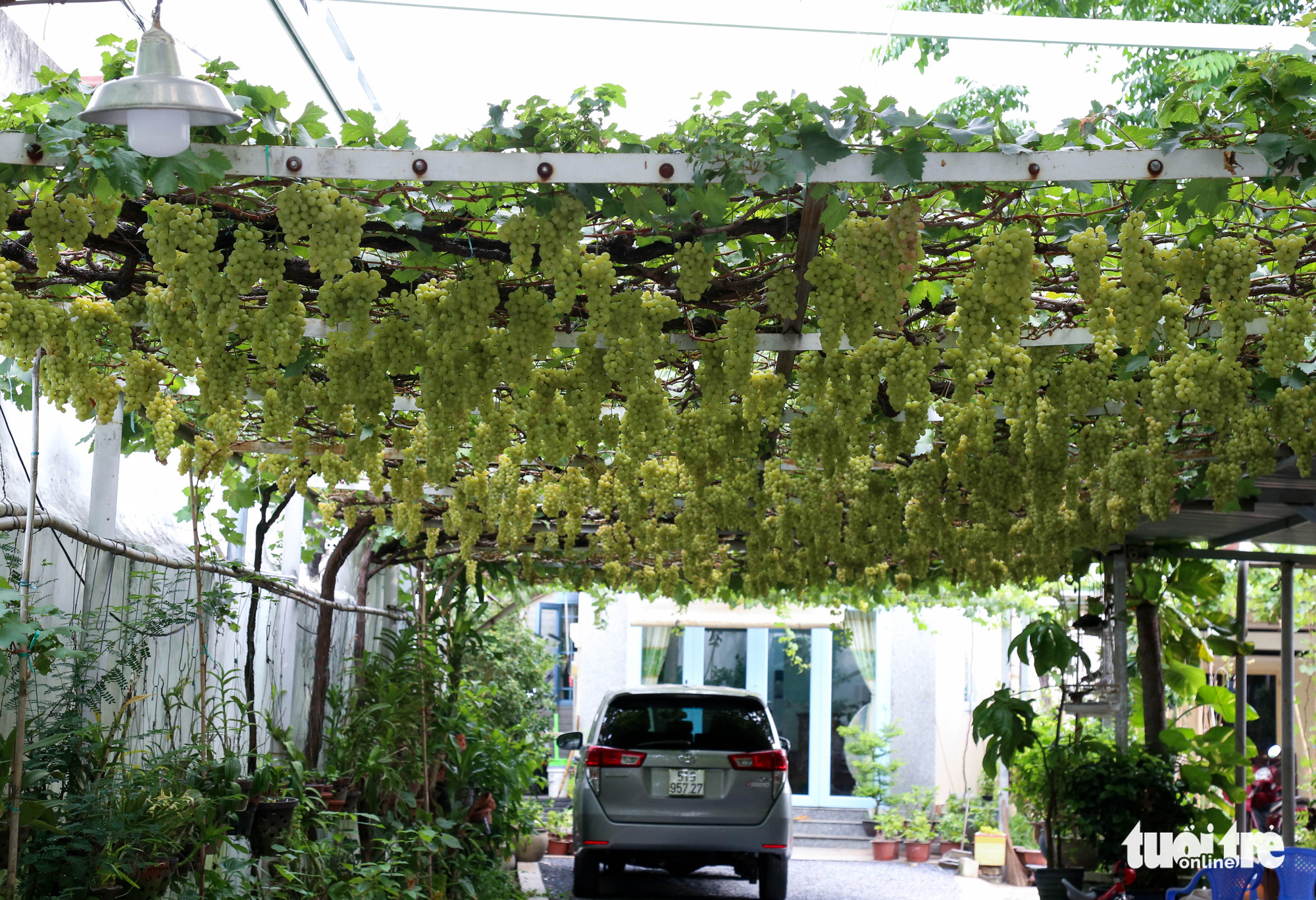 Grapevines are grown at Truong Van O's home garden in District 9, Ho Chi Minh City, Vietnam. Photo: Thao Le / Tuoi Tre