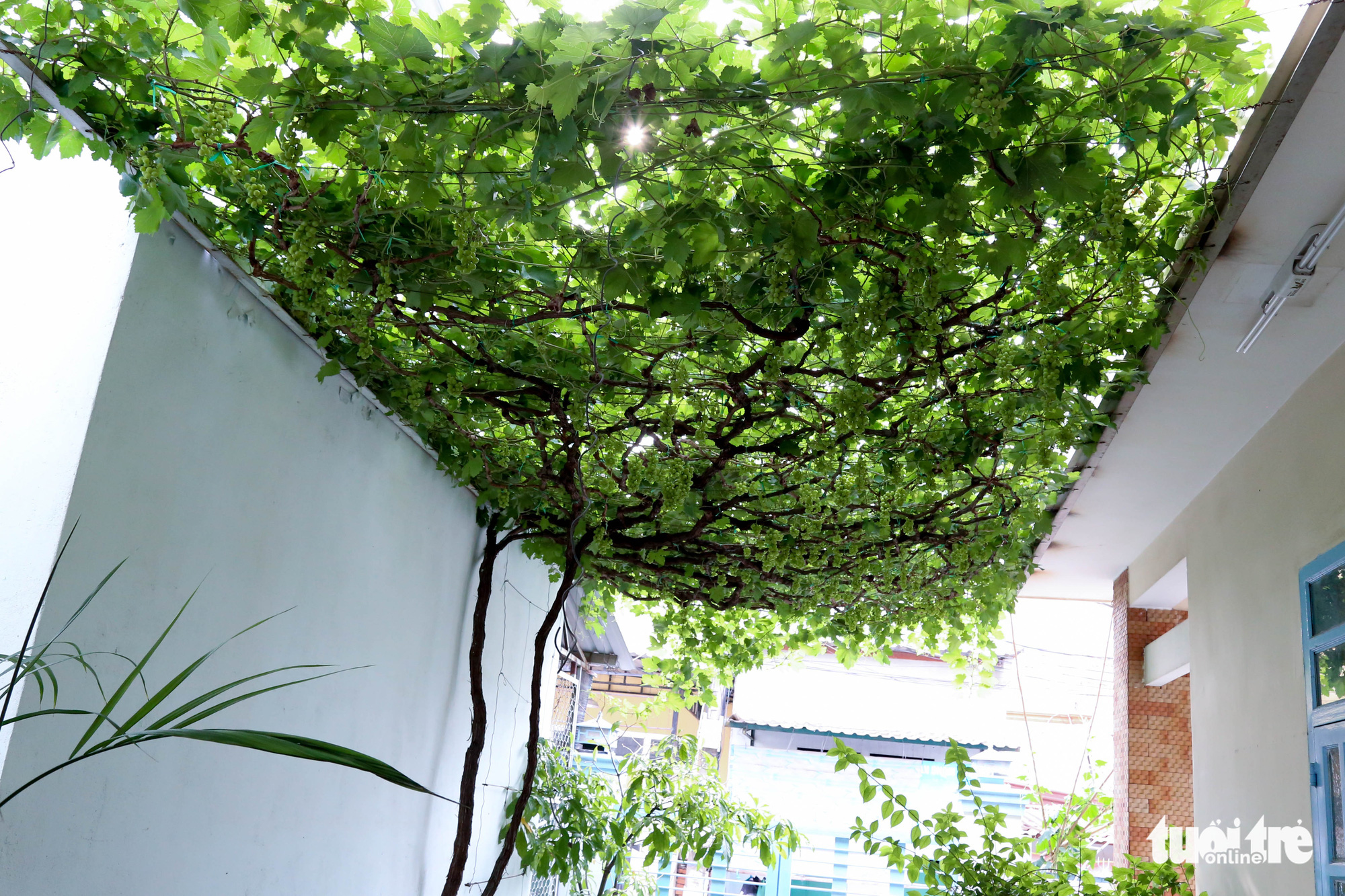 Grapevines are grown at Truong Van O's home garden in District 9, Ho Chi Minh City, Vietnam. Photo: Thu Hien / Tuoi Tre