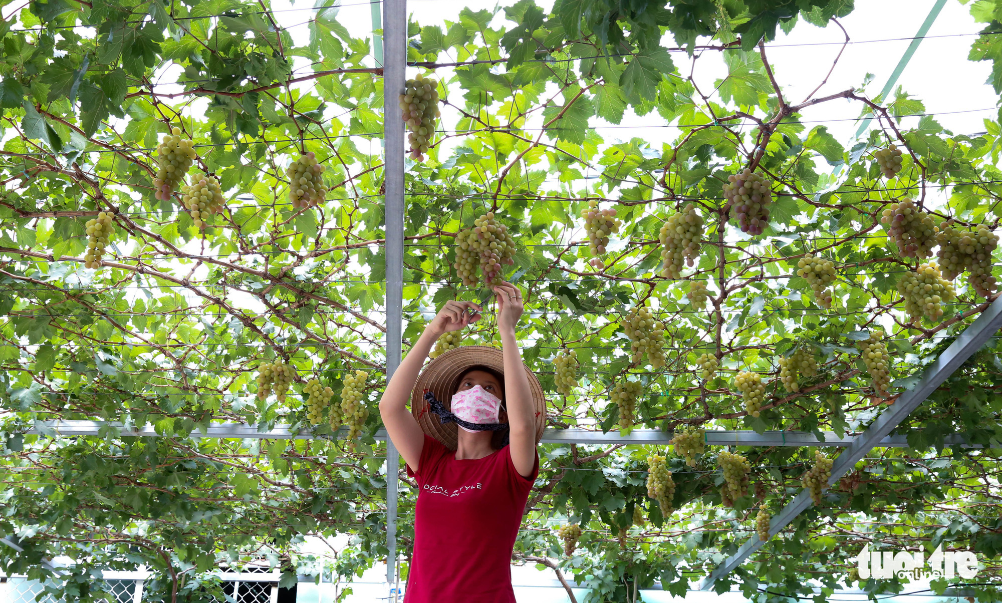 A woman harvests ripe grapes at Truong Van O's home garden in District 9, Ho Chi Minh City, Vietnam. Photo: Thao Le / Tuoi Tre