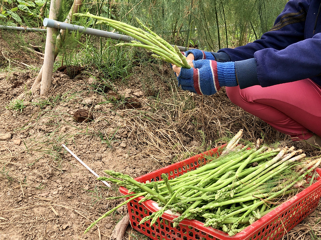 A worker harvests asparagus from a plantation owned by 28-year-old Luong Trung Nghia in Kien Giang Province in the Mekong Delta of Vietnam. Photo: Dieu Qui / Tuoi Tre