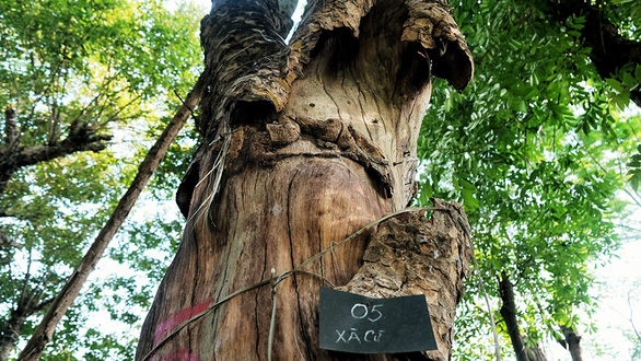 A dried tree is seen at a vacant lot where over 100 trees are abandoned in Gia Lam District, Hanoi in this undated photo. Photo: Mai Thuong / Tuoi Tre