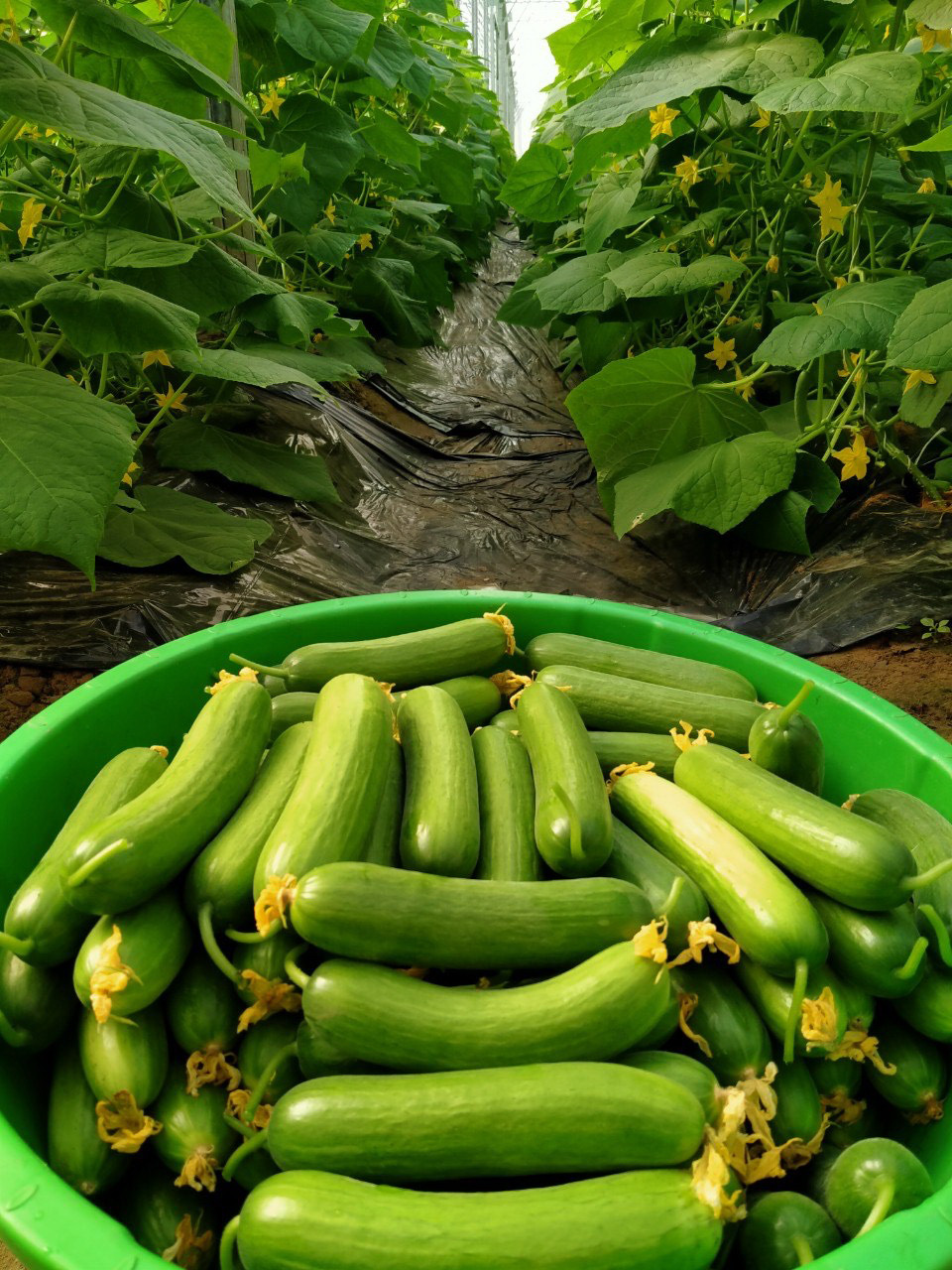 Cucumbers grown in net houses provide outstanding productivity. Harvested cucumbers are seen in this supplied photo.