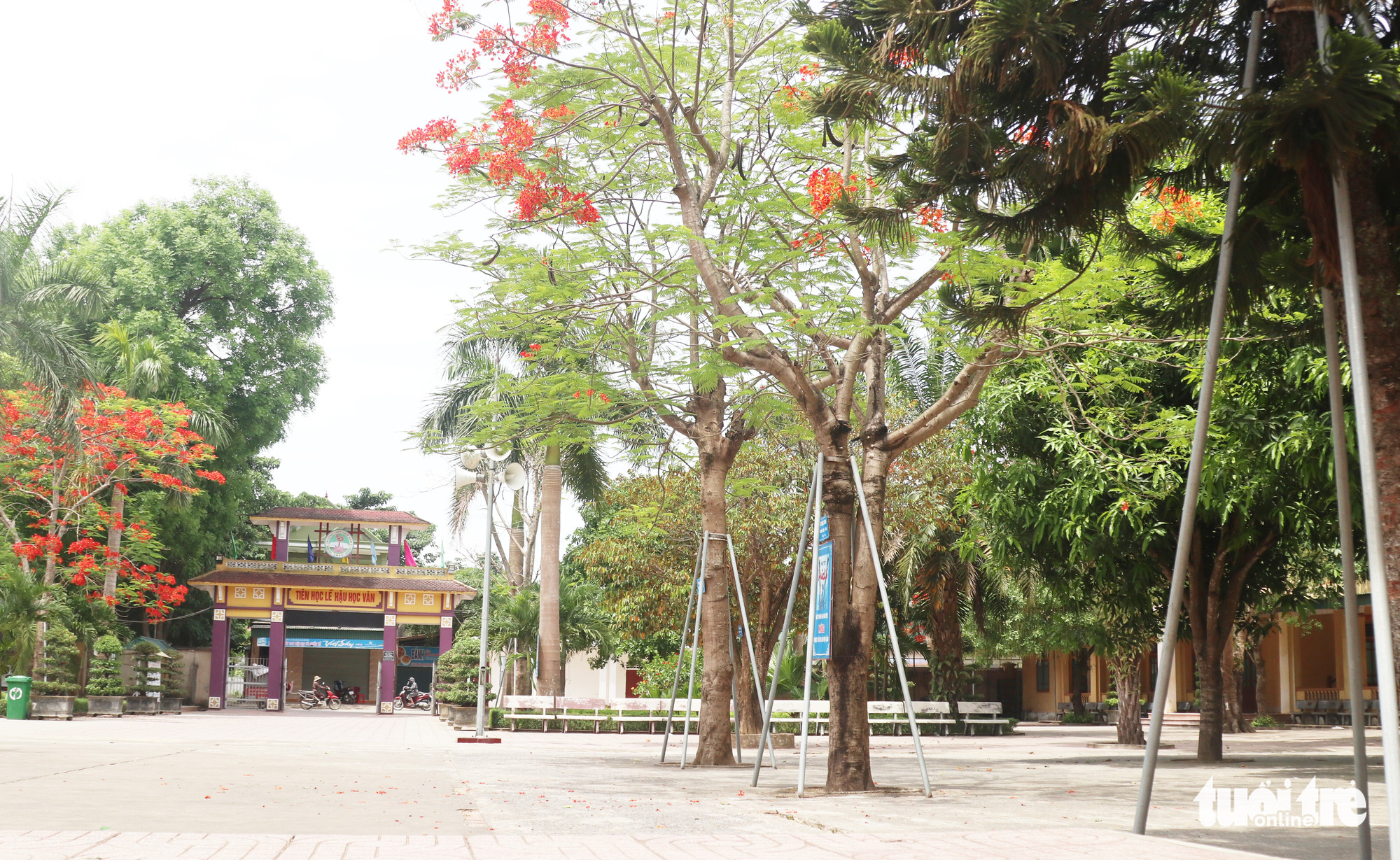 A row of flamboyant trees are fortified by metal rings and poles at Nam Dan 2 High School in Nghe An Province, Vietnam. Photo: Doan Hoa / Tuoi Tre