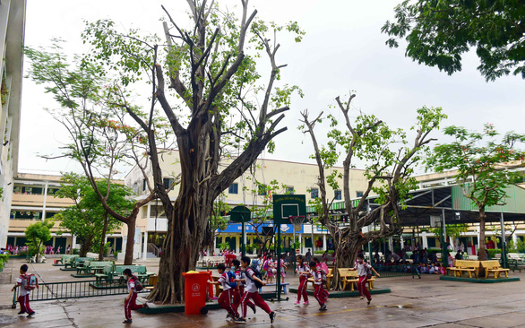 Trees at Hong Ha Elementary School in Ho Chi Minh City's Binh Thanh District are harshly pruned. Photo: Quang Dinh/ Tuoi Tre