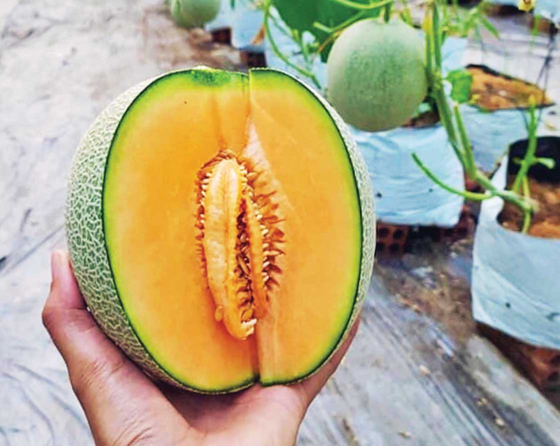 A succulent cantaloupe harvested from Nguyen Thi Mai Khuong's hi-tech farm, nestled in Long Xuyen City, An Giang Province in Vietnam's Mekong Delta, is seen in close up. Photo: Dieu Qui / Tuoi Tre