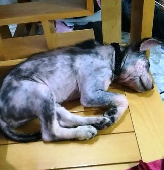 A puppy sleeps at his foster home after being saved by the author in this supplied photo.