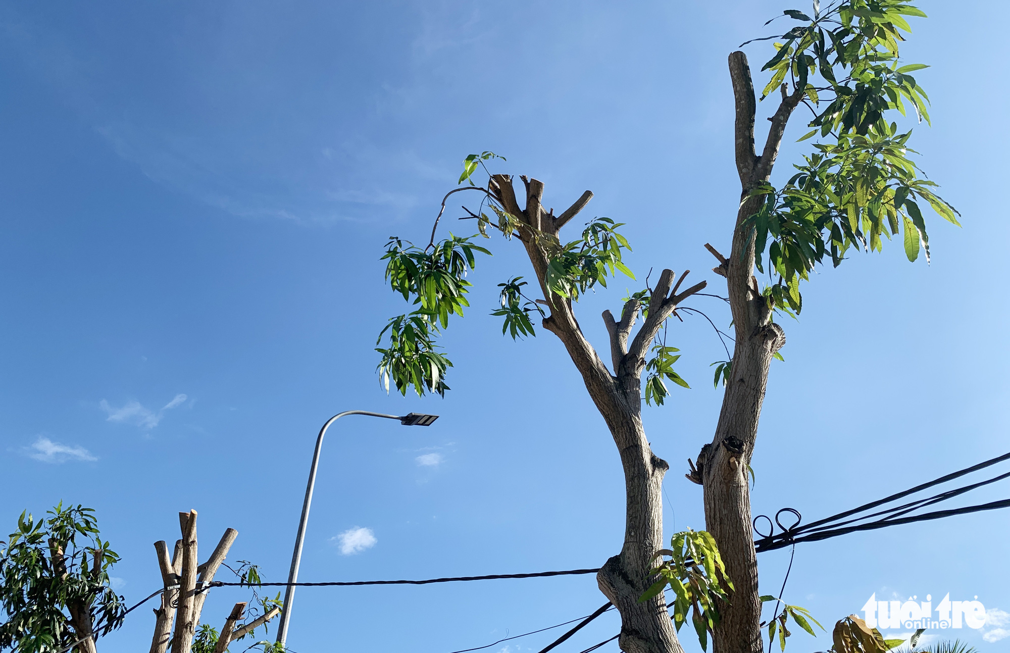 Mango trees are stripped bare in Vinh City, Nghe An Province, Vietnam. Photo: Doan Hoa / Tuoi Tre