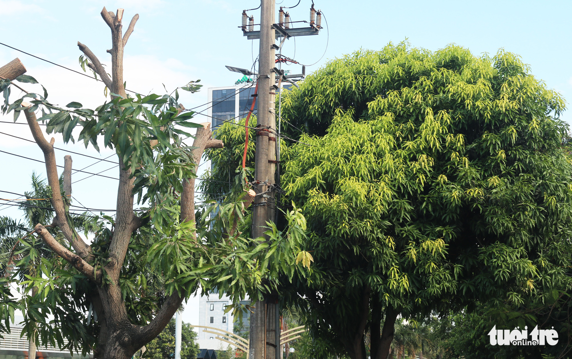 A mango tree that has yet to be cut in Vinh City, Nghe An Province, Vietnam. Photo: Doan Hoa / Tuoi Tre