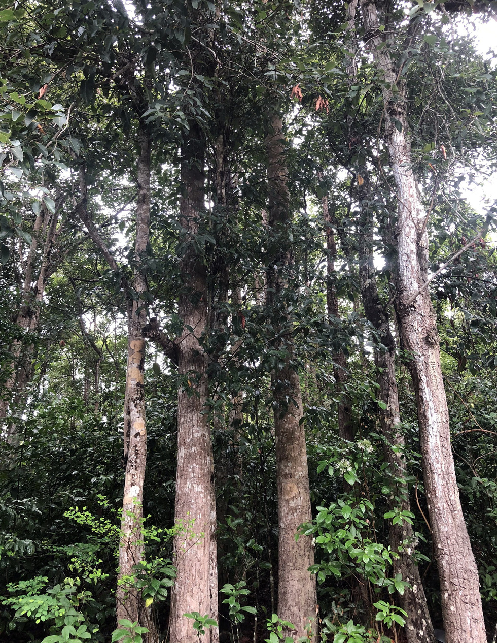 The resin trees in a forest on Con Dao Island off Ba Ria-Vung Tau Province in southern Vietnam are eight centimeters to 30 centimeters in diameter. Photo: Dong Ha / Tuoi Tre