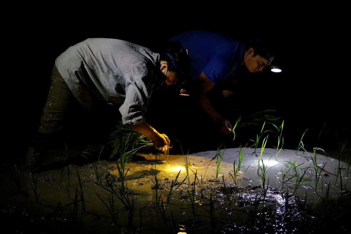 Farmers plant rice on a paddy field during early morning to avoid the heat in Hanoi, Vietnam June 25, 2020. Photo: Reuters
