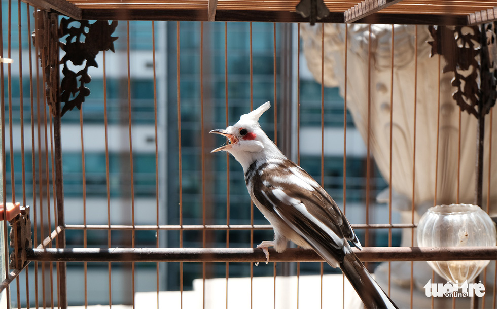 A rare black and white-whiskered bulbul is raised at Duong Van Chuong's residence in Hanoi. Photo: Ha Thanh / Tuoi Tre