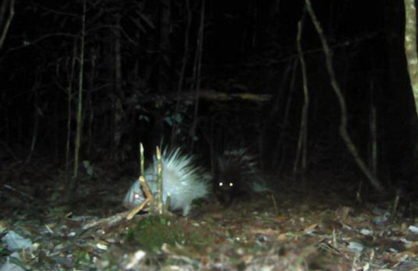 The image of an albino porcupine captured by camera traps at the Bidoup - Nui Ba National Park in Lam Dong Province, Vietnam. Photo: Vietnam News Agency