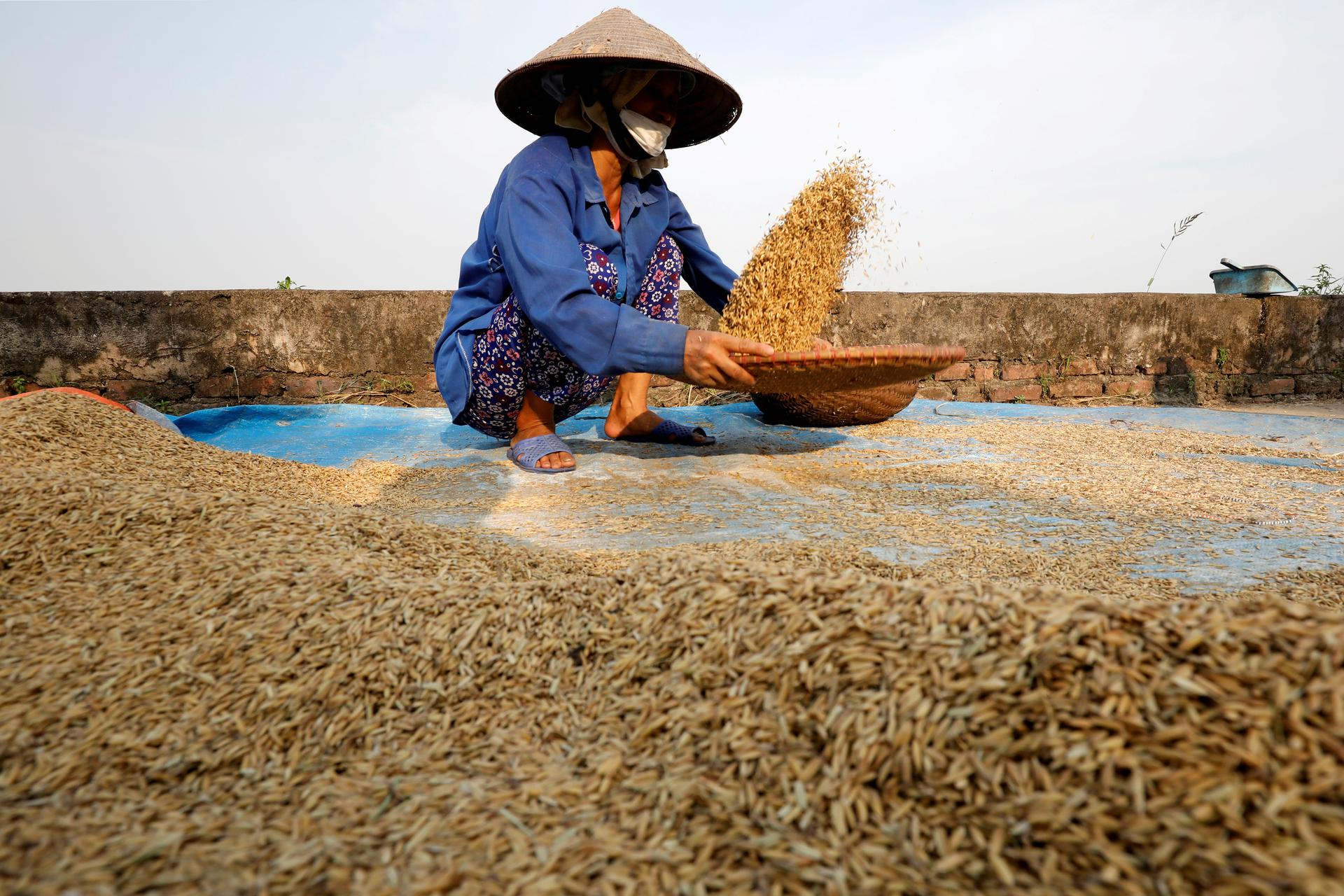 Vietnam rice prices plunge to near 12-year low as demand dries up