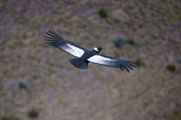 In Ecuador, pair of Andean condors revives hope for species' survival