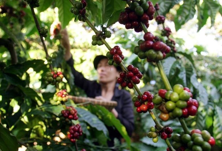 Asia Coffee-Storm to lash more rains on Vietnam coffee belt, crop likely to remain unhurt