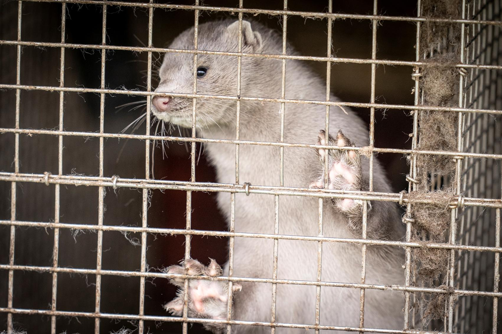 Denmark plans to cull its mink population after coronavirus mutation spreads to humans