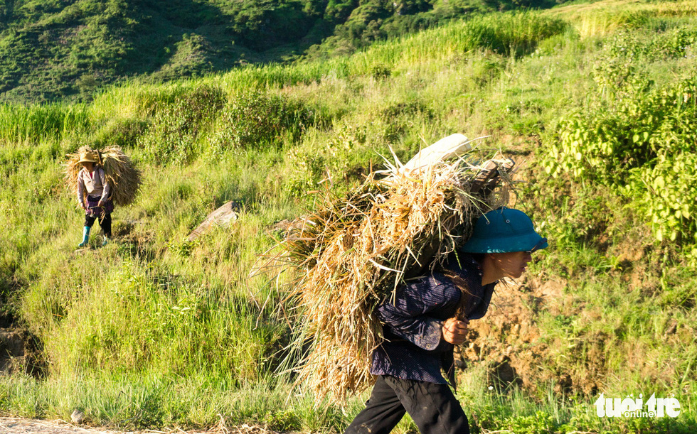 Harvesting the hard-earned seeds of rice with Ha Nhi Den people in Vietnam
