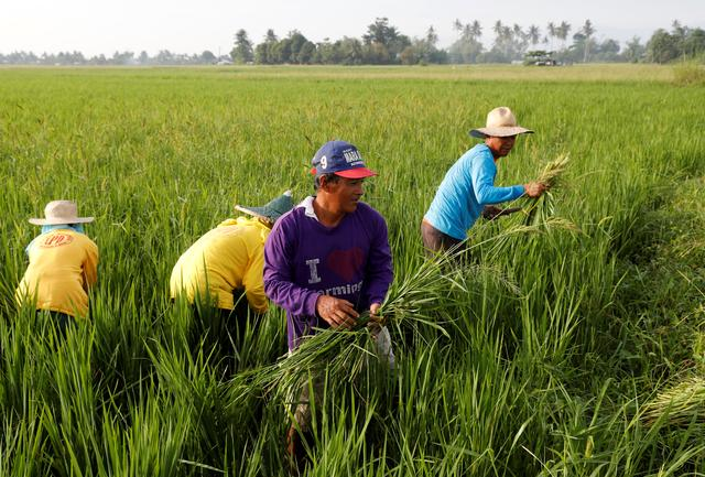 Asia rice-New crop weighs on India rates; Vietnam bets on Philippines deal