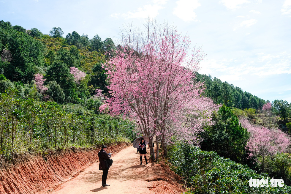 Cherry-like apricot blossoms start to dye Da Lat pink on New Year