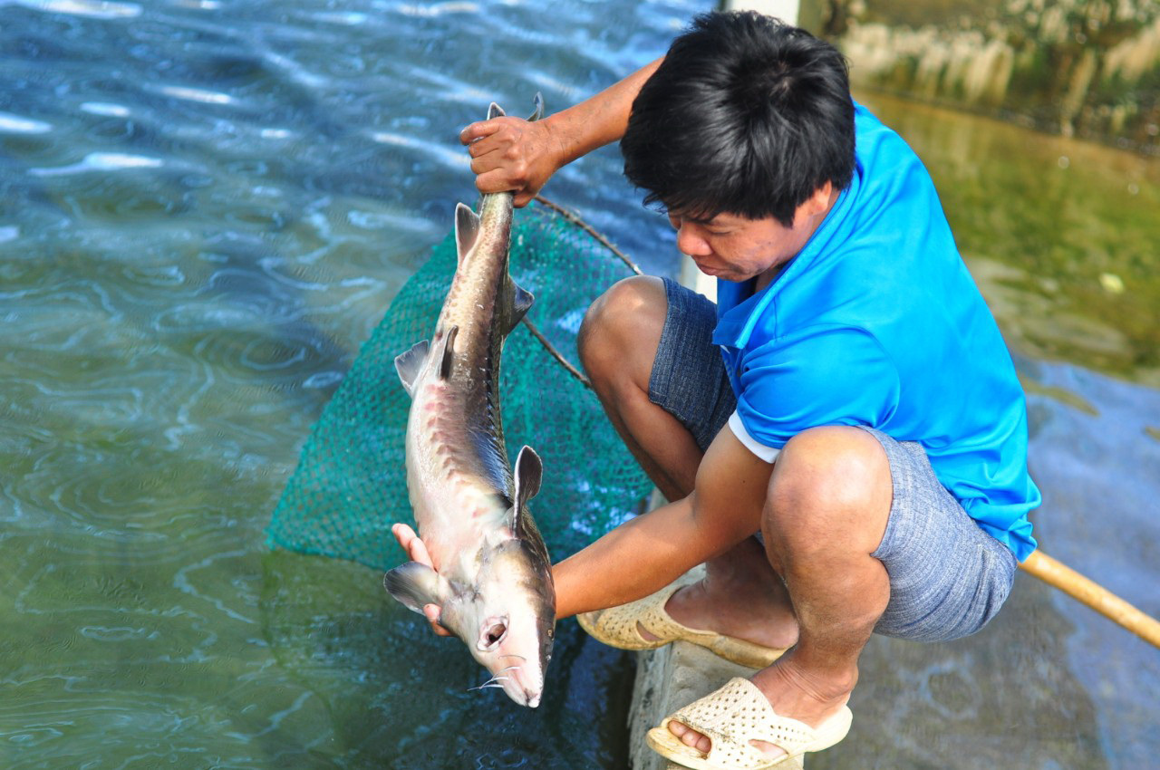 Cheap sturgeons imported from China challenge fish farmers in Vietnam