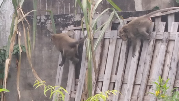 Monkeys are seen in a neighborhood in District 12, Ho Chi Minh City in this supplied photo.