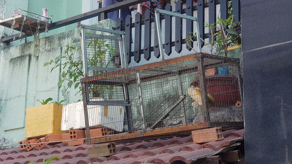 A monkey trap is set up at a house in District 12, Ho Chi Minh City, January 12, 2021. Photo: Ngoc Khai / Tuoi Tre