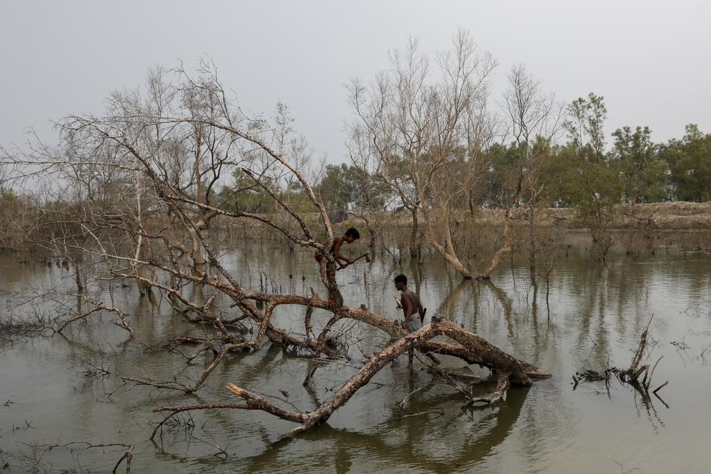 People cut branches off a dried mangrove tree encircling the island of Satjelia in the Sundarbans, India, November 20, 2020. Photo: Reuters