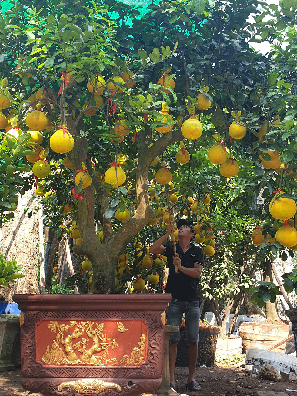 Northern grapefruit, orange plants on sale in Ho Chi Minh City for Lunar New Year