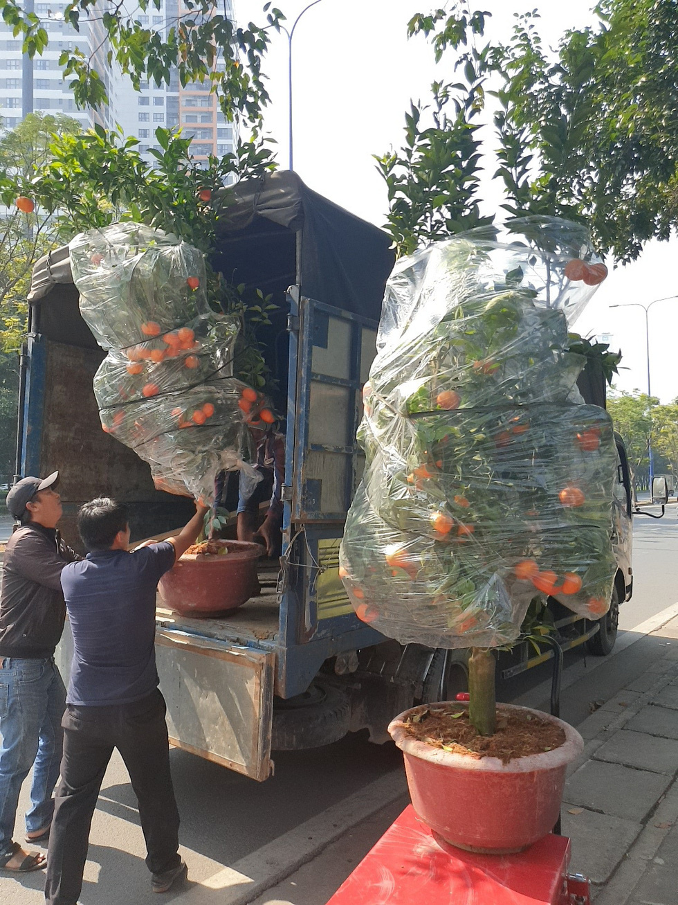 Large pots of orange trees are unloaded from a truck onto the sidewalk of Mai Chi Tho Street in District 2, Ho Chi Minh City, January 2021. Photo: N.Tri / Tuoi Tre