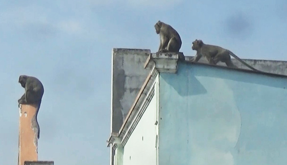Three monkeys are seen on the roof of a house in District 12 of Ho Chi Minh City. Photo: Ngoc Khai / Tuoi Tre