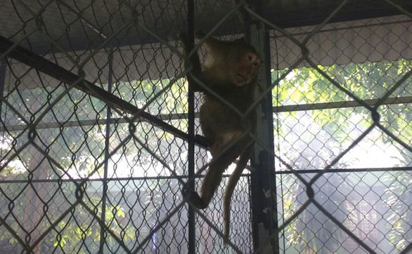 A monkey is relocated to the Cu Chi Wildlife Rescue Station in Ho Chi Minh City, January 16, 2021. Photo: A.X / Tuoi Tre