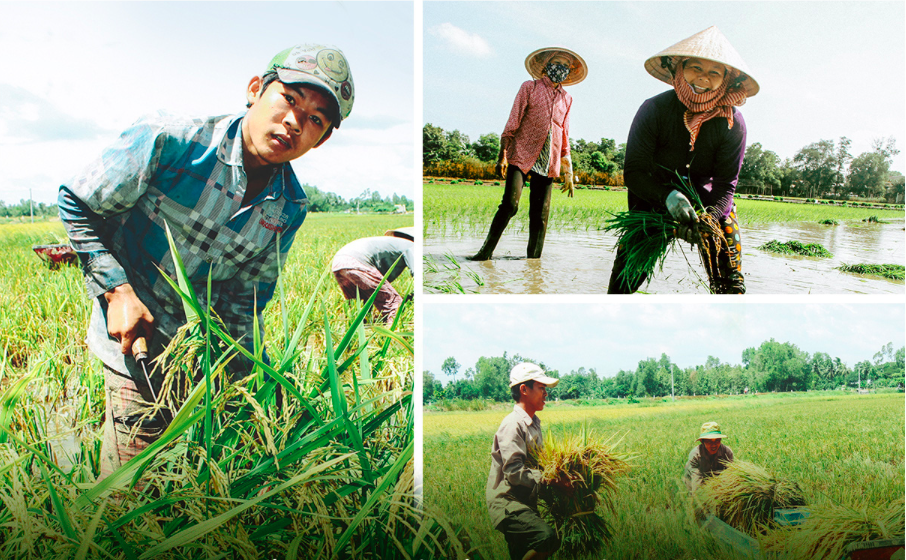 Harvesting rice by hand in the Mekong Delta. Photo: Chi Quoc/Tuoi Tre