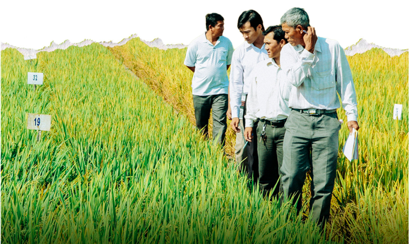 Sample field of Cuu Long (Mekong) Delta Rice Research Institute. Photo: Chi Quoc/Tuoi Tre