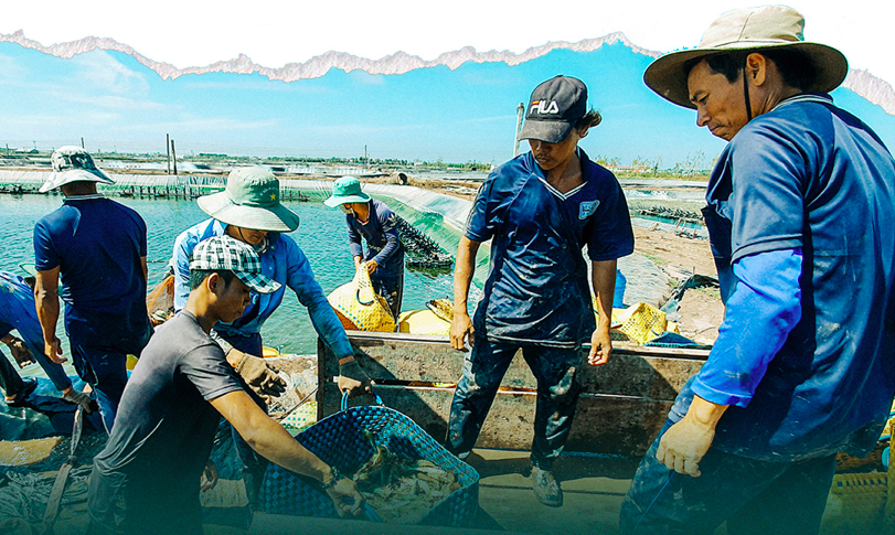 Harvesting white leg shrimps in Soc Trang Province. Photo: Chi Quoc/Tuoi Tre