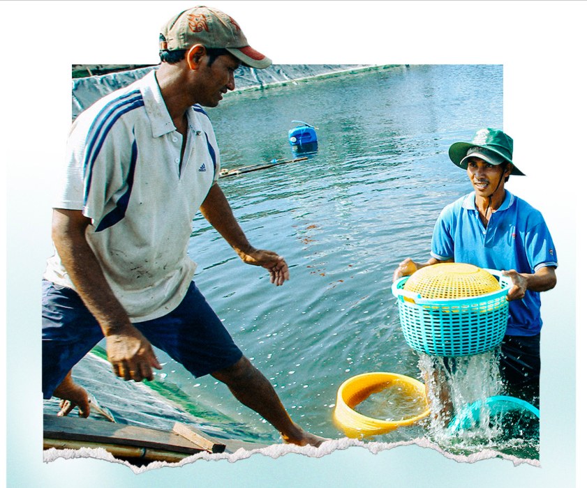 Harvesting white leg shrimps in Bac Lieu Province. Photo: Chi Quoc/Tuoi Tre