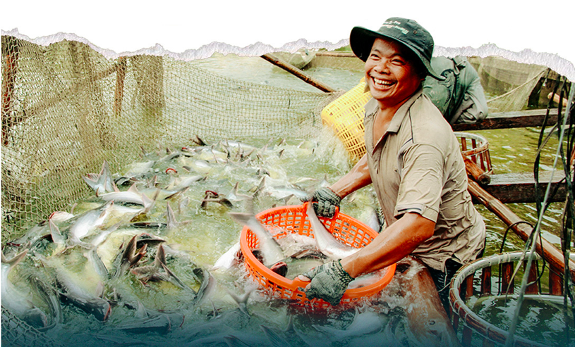 Catfish farmers in Mekong Delta still experience ups and downs as the sector develops unattainably. Photo: Chi Quoc/Tuoi Tre