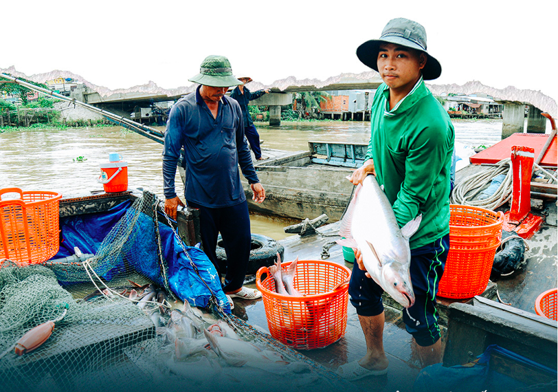 Trading catfish in Vinh Long Province. Photo: Chi Quoc/Tuoi Tre