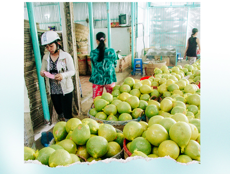 Green skin pomelo is Mekong Delta's spearhead fruit. Photo: Chi Quoc/Tuoi Tre